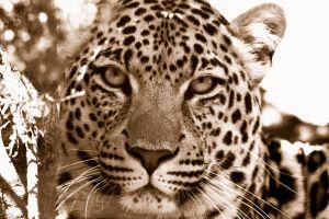 leopard leopard (animal) animals nature