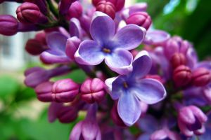 lilac purple flowers flowers nature