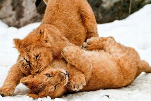 lion snow animals baby animals