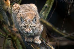 lynx branch animals