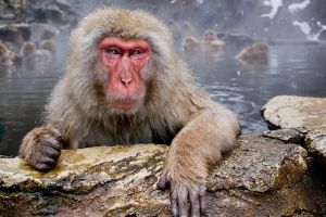 macaques animals monkey