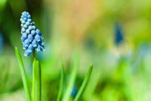 macro blue flowers muscari plants flowers