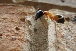 macro camponotus ants rock macro insect animals