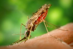 macro mosquito insect animals