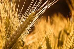 macro nature sunlight wheat plants
