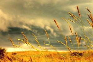macro plants depth of field field wheat