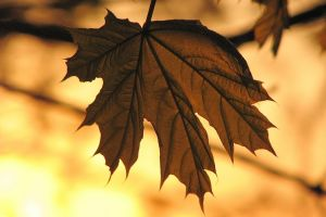 macro sepia leaves nature