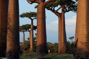 madagascar national geographic trees