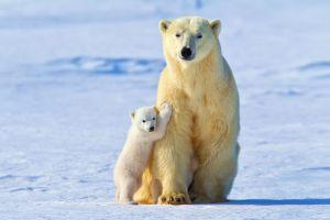 mammals baby animals polar bears snow animals ice
