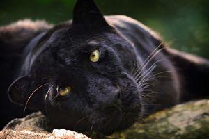 mammals panthers animals big cats