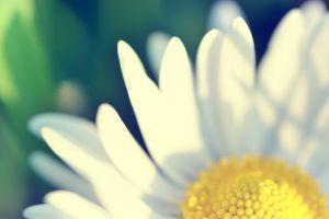 matricaria yellow white green flowers