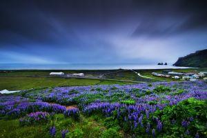 muscari nature flowers field blue flowers landscape horizon sky coast