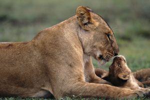 nature animals baby animals lion