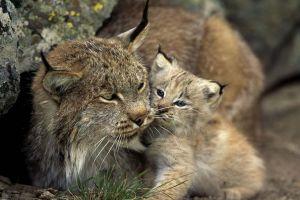 nature animals cats lynx