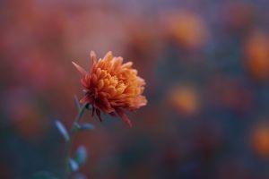 nature chrysanthemums flowers plants
