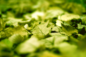 nature depth of field leaves
