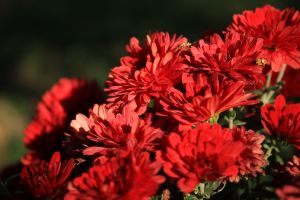 nature flowers red plants