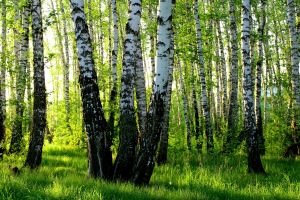 nature forest birch trees