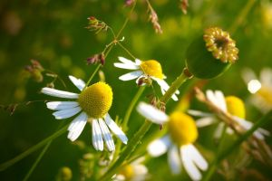 nature landscape macro white flowers flowers daisies