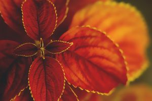 nature leaves macro coleus plants