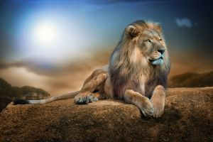 nature lion big cats animals wildlife rock digital art