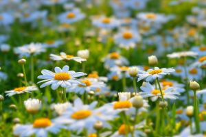 nature matricaria daisies flowers white flowers