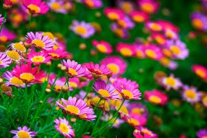 nature pink flowers flowers