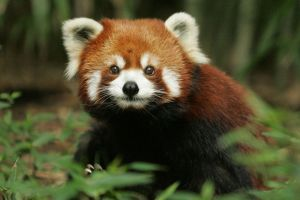 nature red panda animals