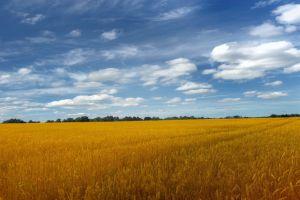 nature wheat summer landscape field