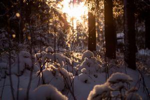 nature winter trees snow