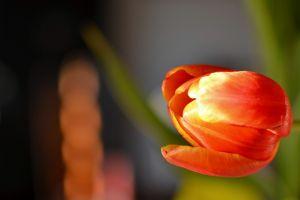 orange flowers tulips flowers