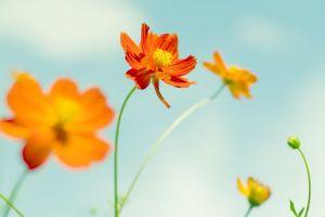 orange orange flowers flowers sky yellow flowers yellow sky flowers flowers orange plants yellow cosmos (flower) green