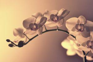 orchids macro plants flowers