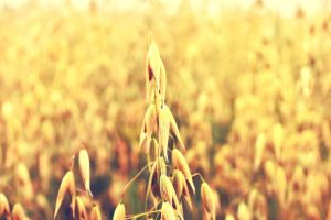 outdoors plants wheat