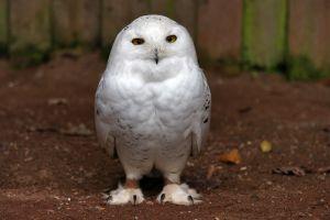 owl birds animals