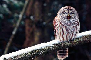 owl snow birds branch