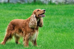 pet green grass spaniels dog animals