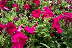 petunias pink flowers flowers