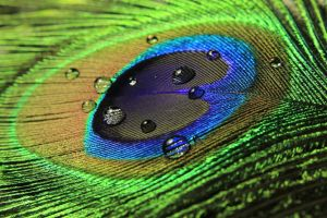 photography feathers peacocks macro water drops
