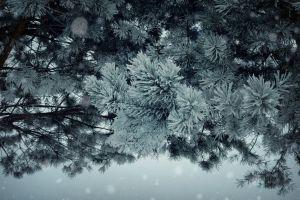 pine trees frost trees plants winter