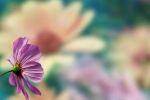 pink flowers blurred flowers