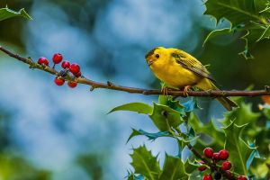 plants birds yellow finches branch fruit animals