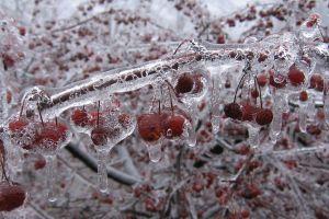 plants cherries (food) fruit ice nature