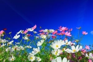 plants cosmos (flower) pink flowers white flowers flowers colorful nature