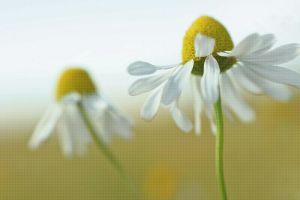 plants daisies flowers macro white flowers matricaria
