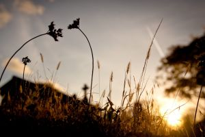 plants landscape nature photography spikelets macro silhouette sunlight sunset trees
