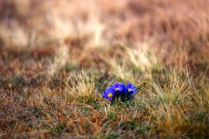 plants nature grass blue flowers flowers