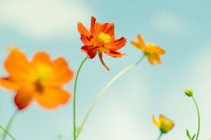 plants petals orange flowers flowers