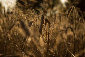 plants wheat landscape
