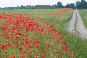 poppies path flowers dirt road field